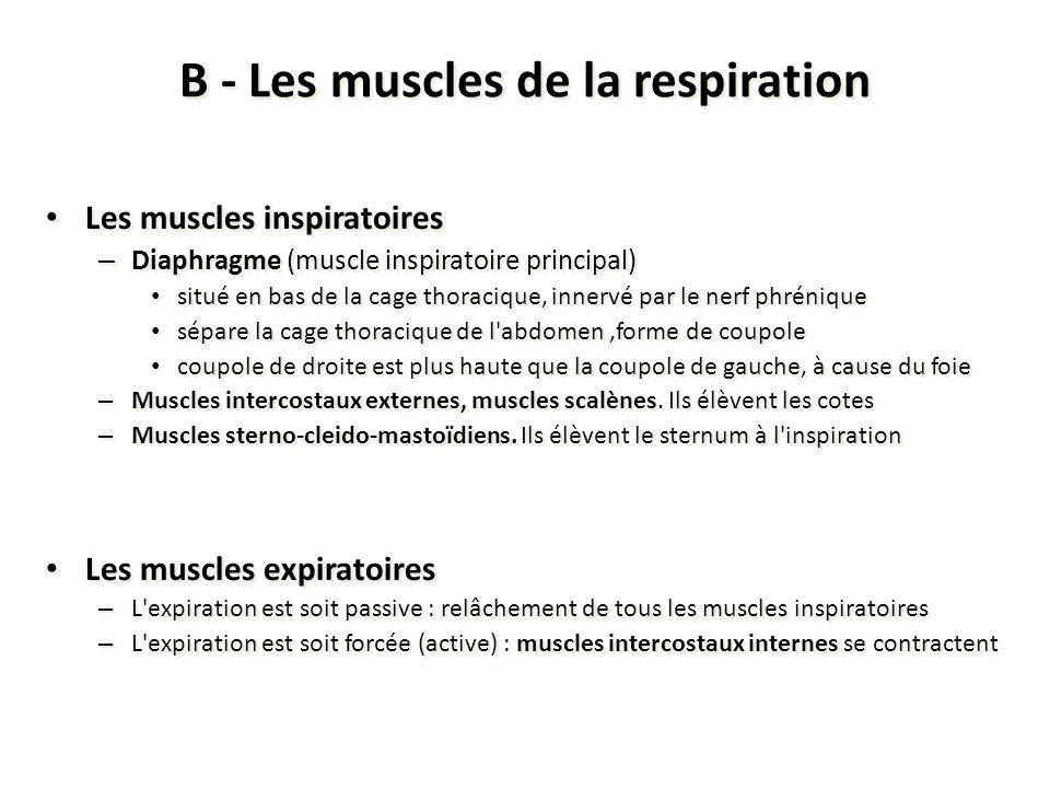 B - Les muscles de la respiration