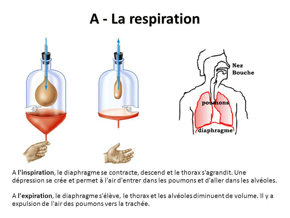 A - La respiration