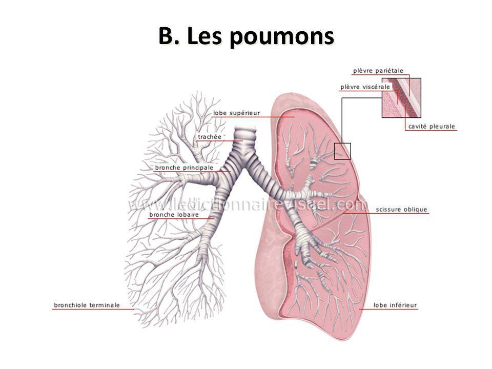 B. Les poumons Spongieux, gris rosé ayant une forme pyramidale