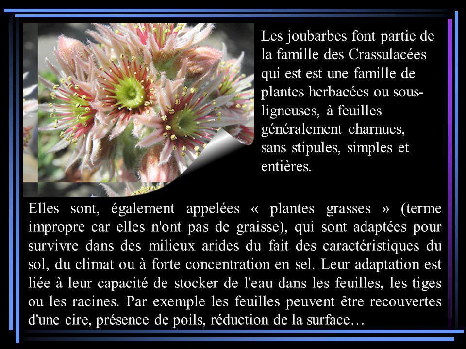Les joubarbes font partie de la famille des Crassulacées qui est est une famille de plantes herbacées ou sous-ligneuses, à feuilles généralement charnues, sans stipules, simples et entières.