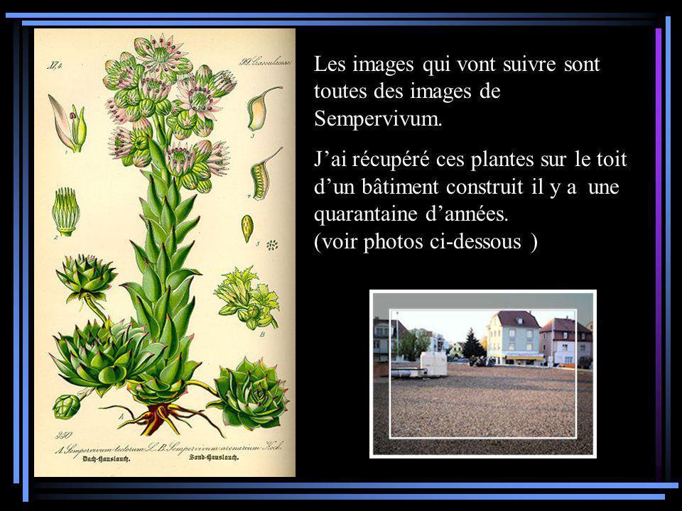 Les images qui vont suivre sont toutes des images de Sempervivum.