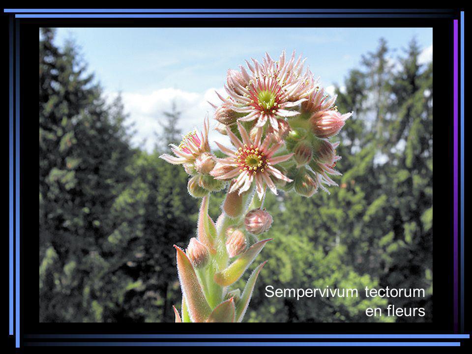 Sempervivum tectorum en fleurs