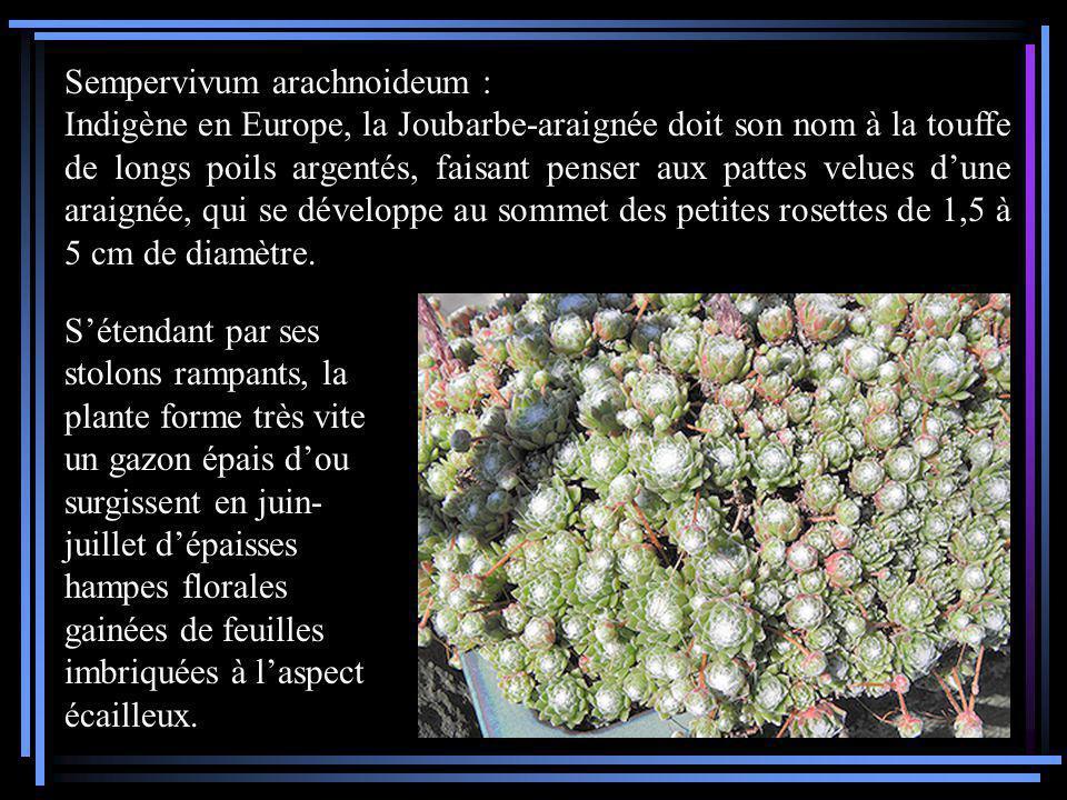 Sempervivum arachnoideum :