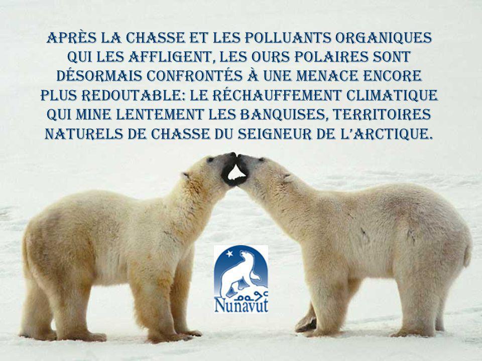 Après la chasse et les polluants organiques qui les affligent, les ours polaires sont désormais confrontés à une menace encore plus redoutable: le réchauffement climatique qui mine lentement les banquises, territoires naturels de chasse du Seigneur de l'Arctique.