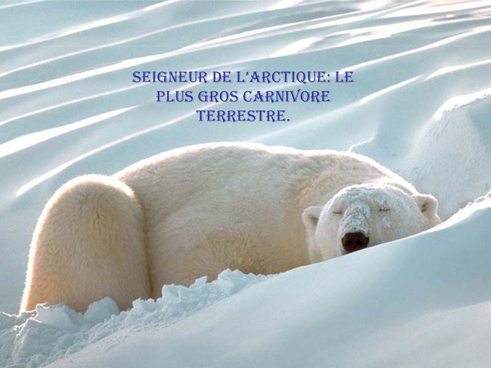 Seigneur de l'Arctique: le plus gros carnivore terrestre.