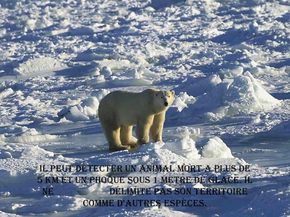 Il peut détecter un animal mort a plus de 5 km et un phoque sous 1 mètre de glace.