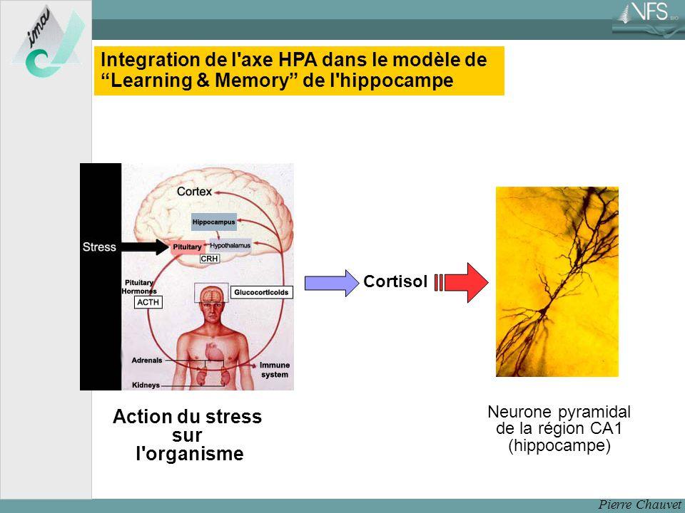 Neurone pyramidal de la région CA1