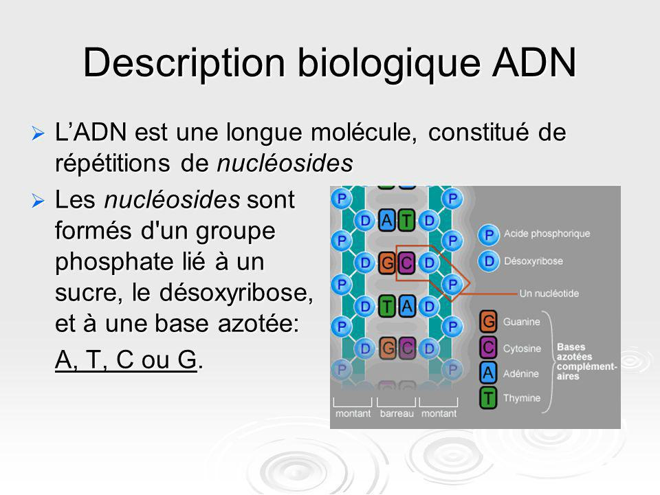 Description biologique ADN