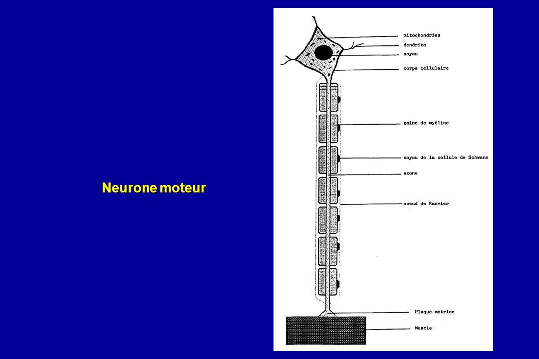 Neurone moteur