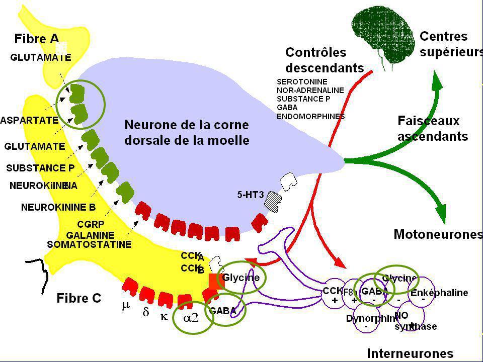 Glycine Cibles potentiels des halogénés au niveau de la corne postérieure de la moelle