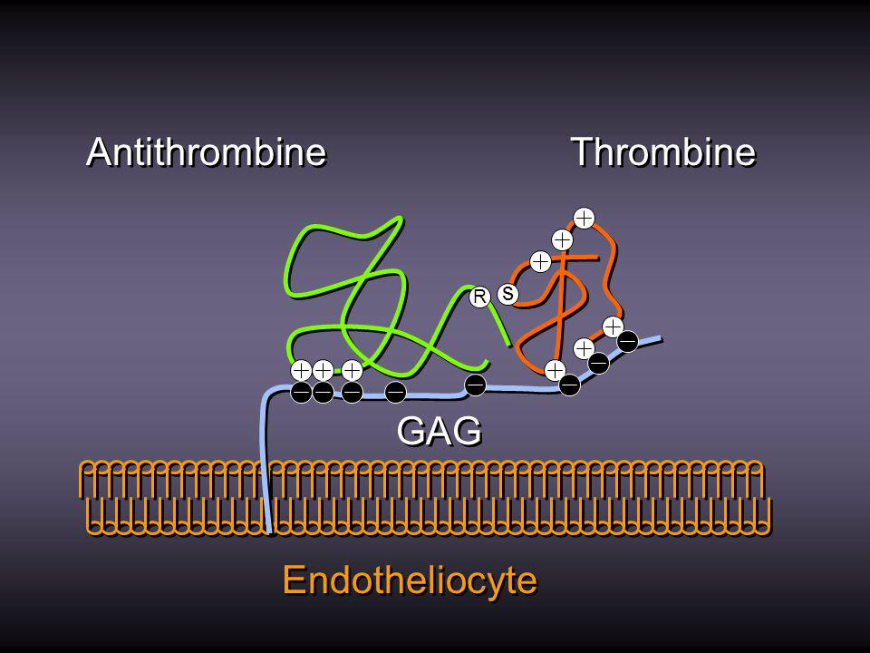 Antithrombine Thrombine s R GAG Endotheliocyte