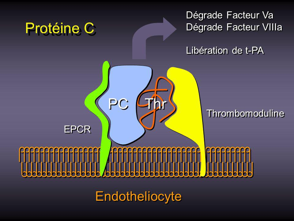 Protéine C PC Thr Endotheliocyte Dégrade Facteur Va