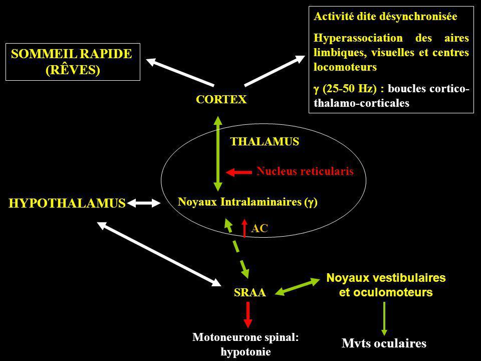 SOMMEIL RAPIDE (RÊVES) HYPOTHALAMUS Mvts oculaires