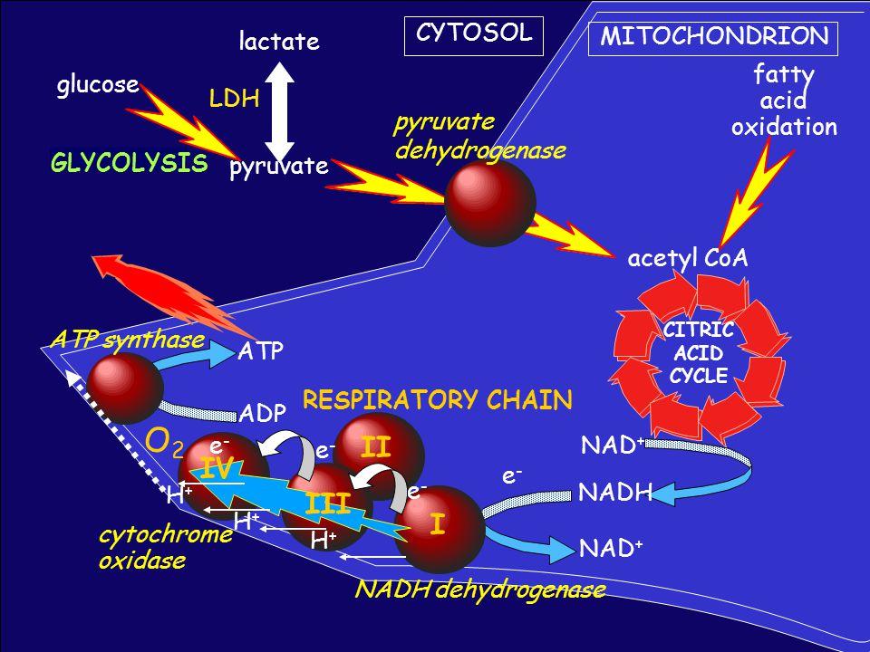 O2 II IV III I CYTOSOL MITOCHONDRION lactate fatty glucose acid LDH