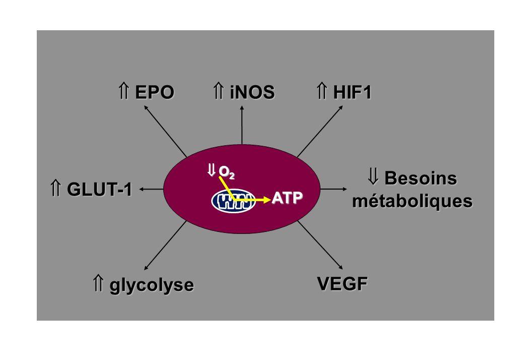  EPO  iNOS  HIF1  Besoins métaboliques  GLUT-1  glycolyse VEGF