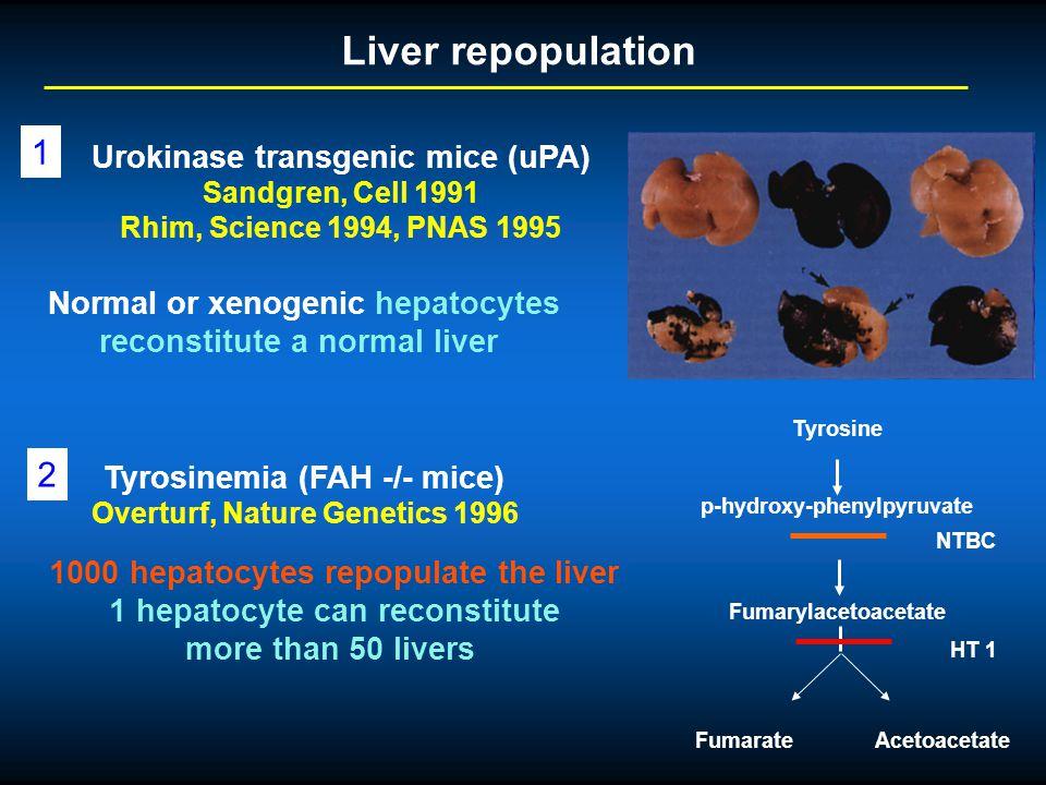 Liver repopulation 1 2 Urokinase transgenic mice (uPA)