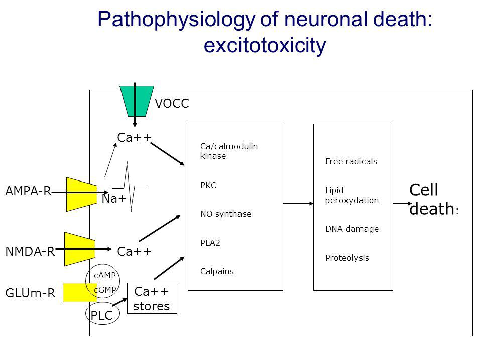 Pathophysiology of neuronal death: excitotoxicity