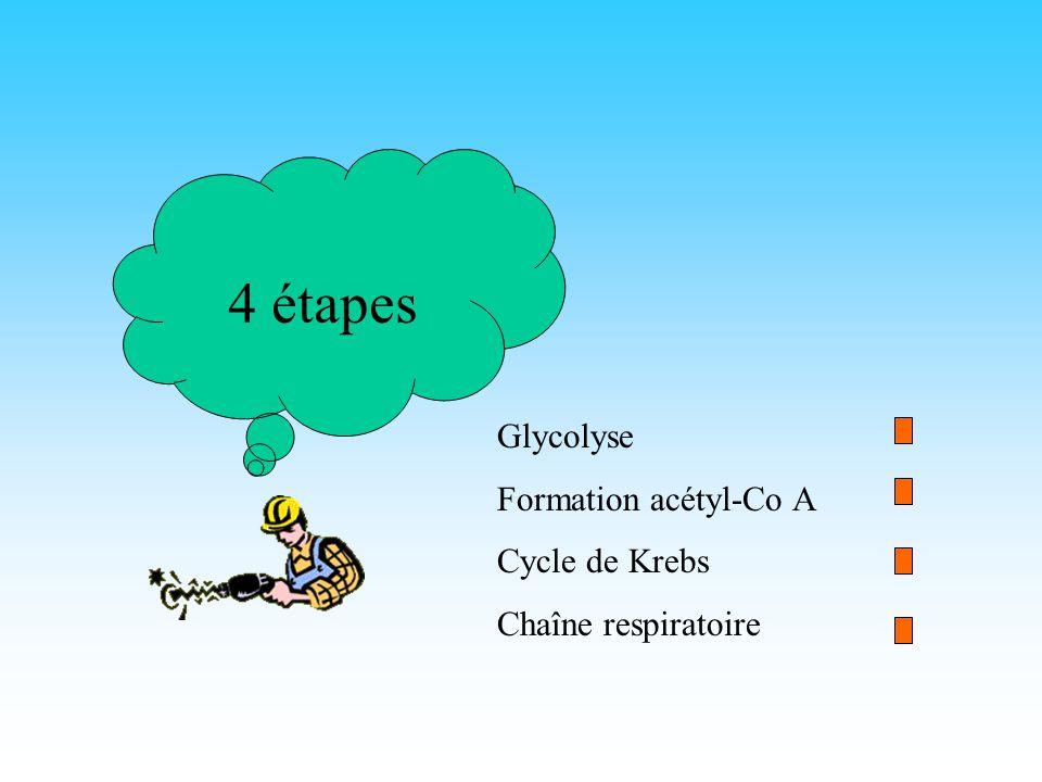 4 étapes Glycolyse Formation acétyl-Co A Cycle de Krebs