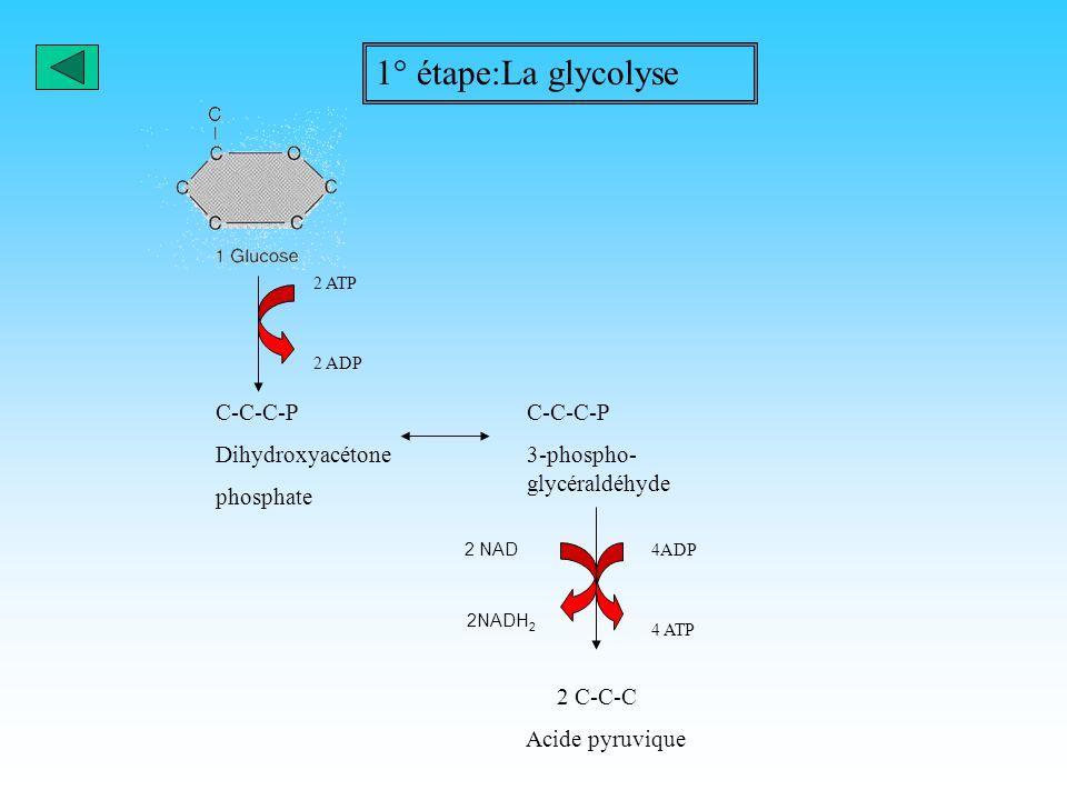 1° étape:La glycolyse C-C-C-P Dihydroxyacétone phosphate C-C-C-P
