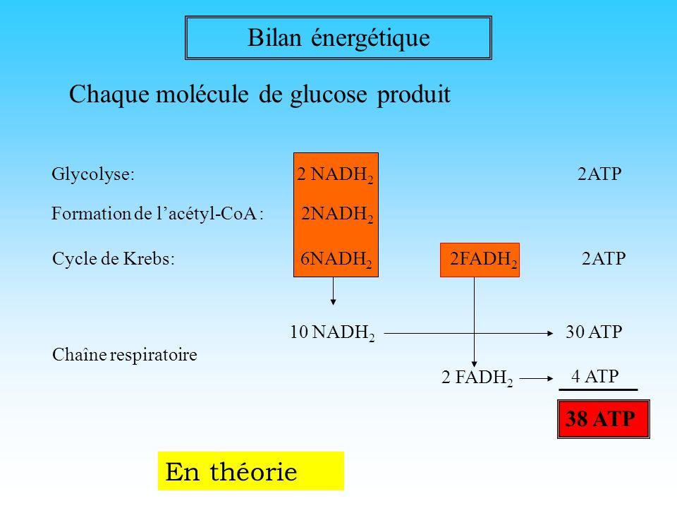 Chaque molécule de glucose produit