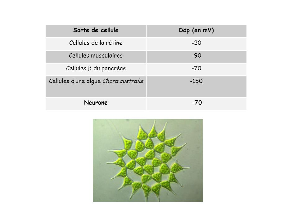 Cellules d'une algue Chora australis