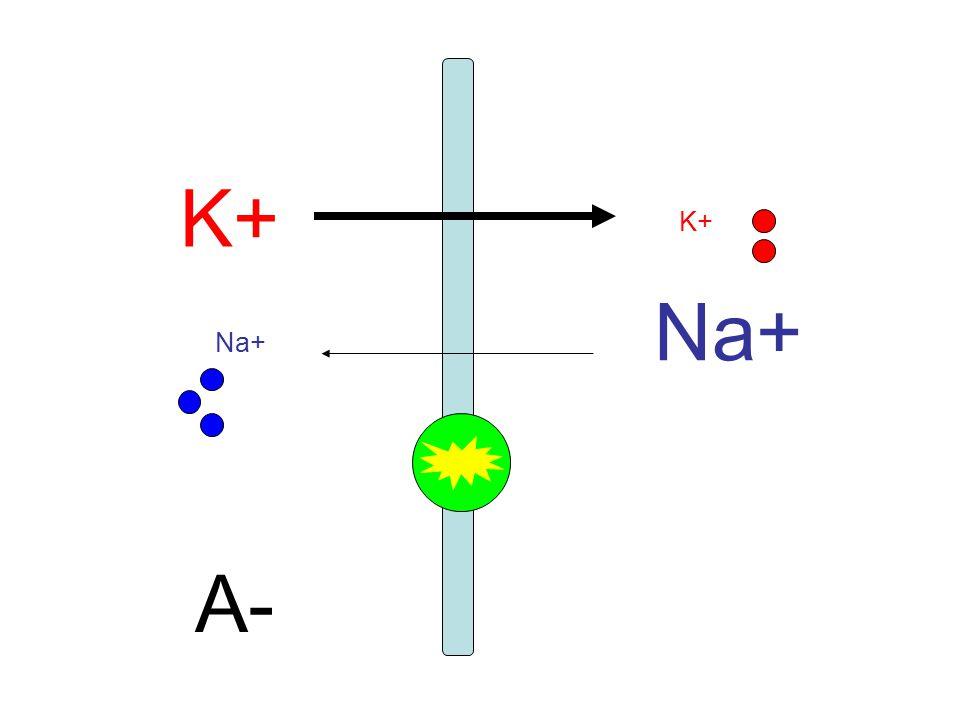 K+ K+ Na+ Na+ A-