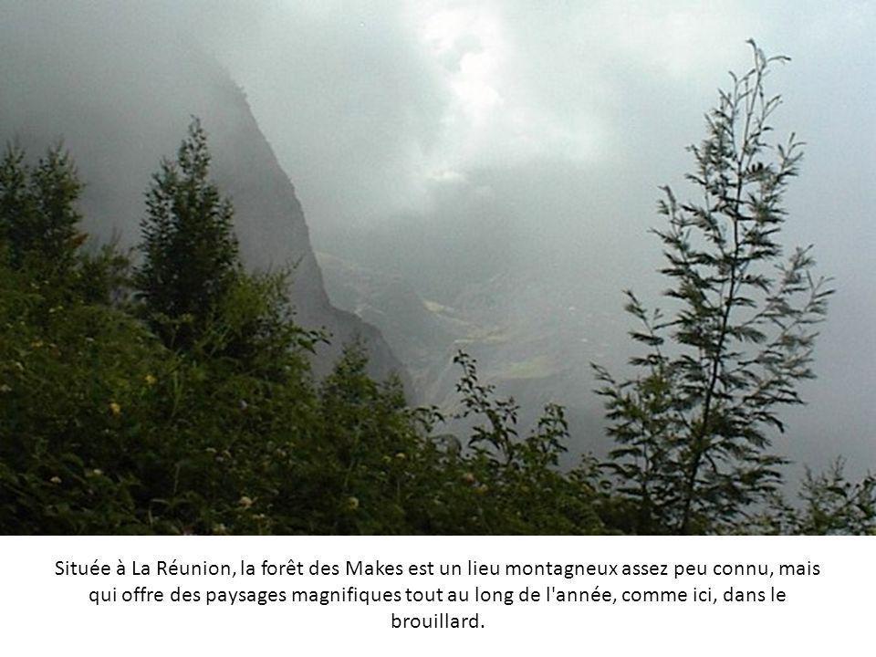 Située à La Réunion, la forêt des Makes est un lieu montagneux assez peu connu, mais qui offre des paysages magnifiques tout au long de l année, comme ici, dans le brouillard.