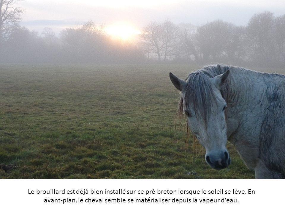 Le brouillard est déjà bien installé sur ce pré breton lorsque le soleil se lève.