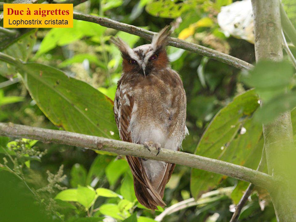 Duc à aigrettes Lophostrix cristata