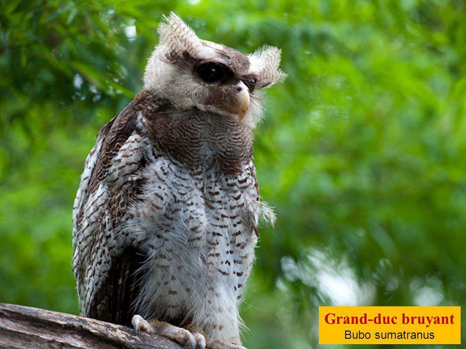 Grand-duc bruyant Bubo sumatranus