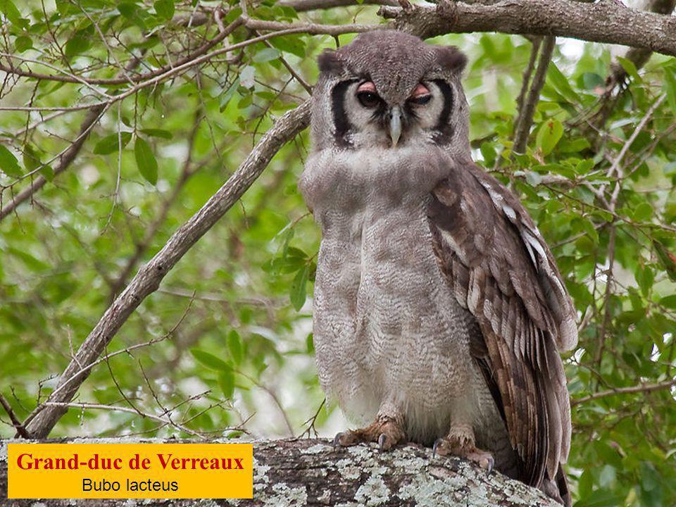 Grand-duc de Verreaux Bubo lacteus