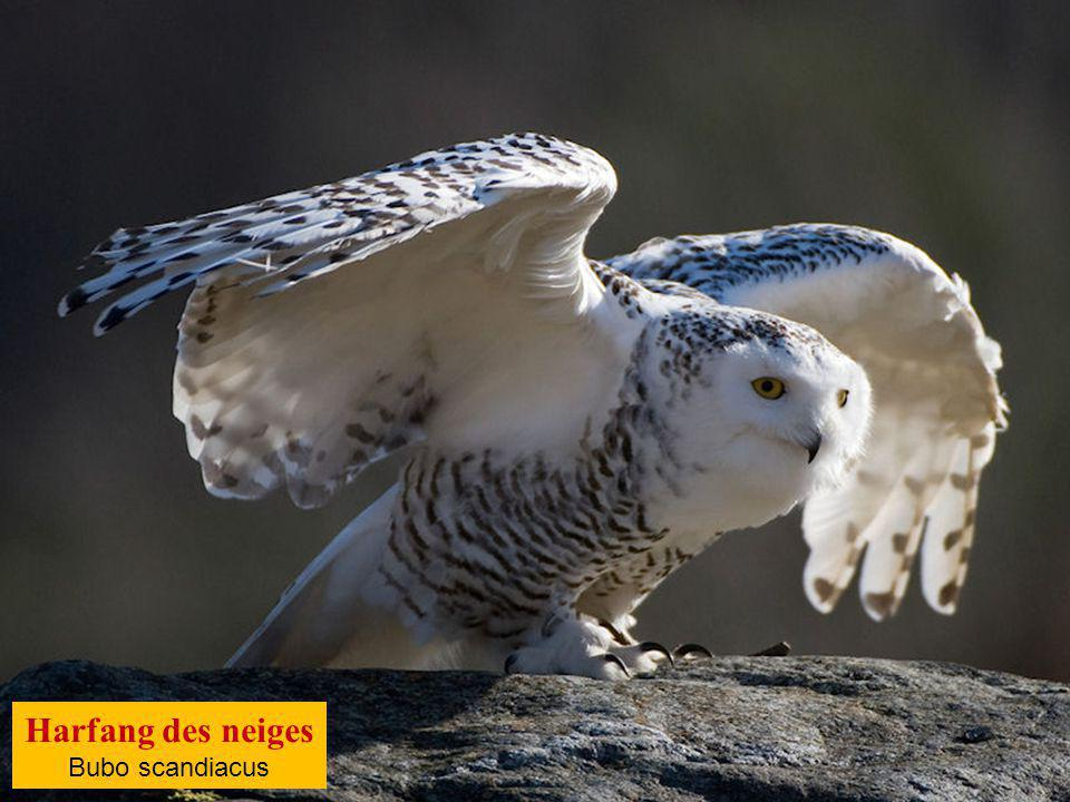 Harfang des neiges Bubo scandiacus