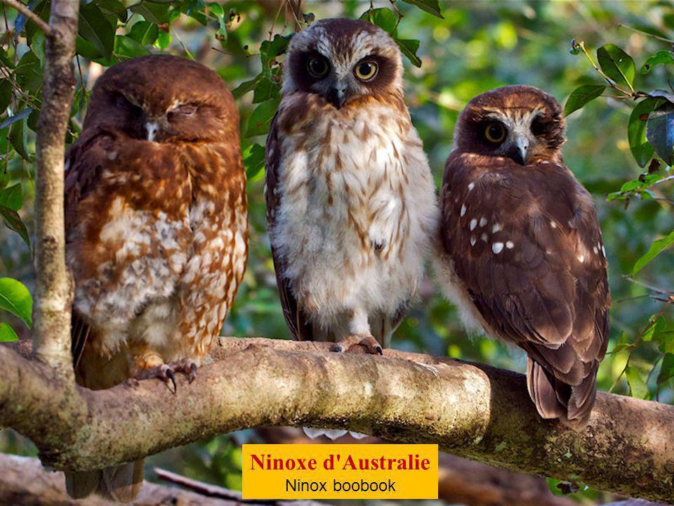 Ninoxe d Australie Ninox boobook