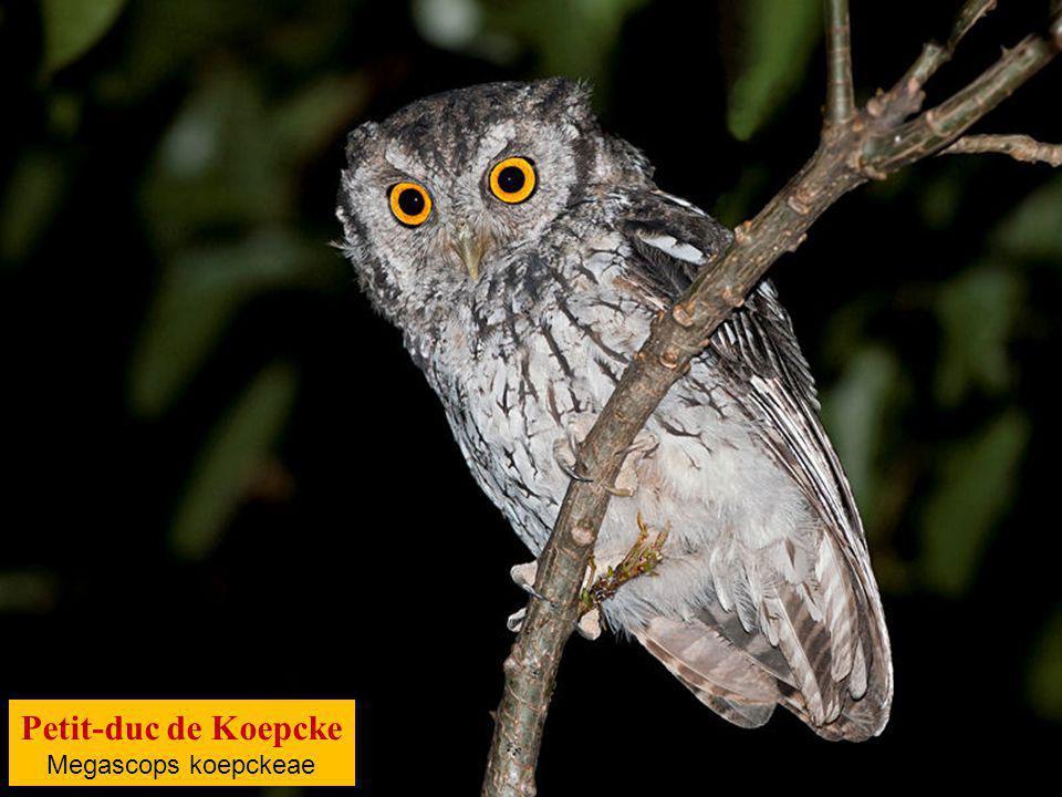 Petit-duc de Koepcke Megascops koepckeae