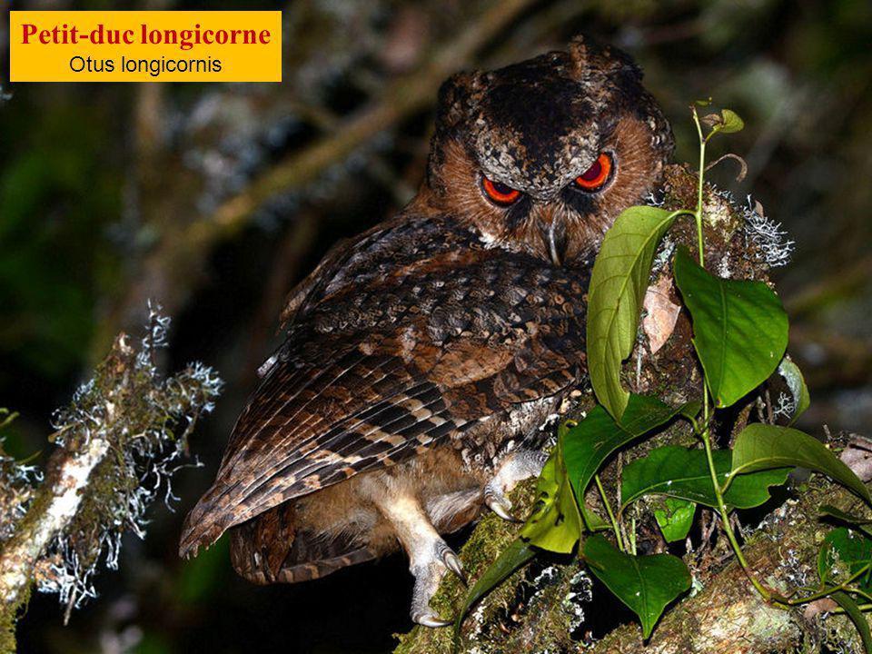 Petit-duc longicorne Otus longicornis