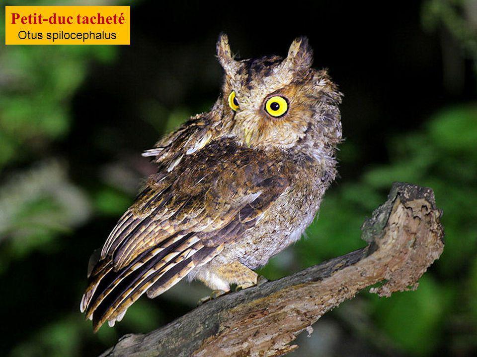 Petit-duc tacheté Otus spilocephalus