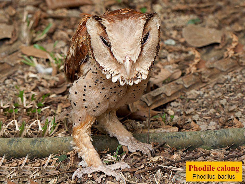 Phodile calong Phodilus badius