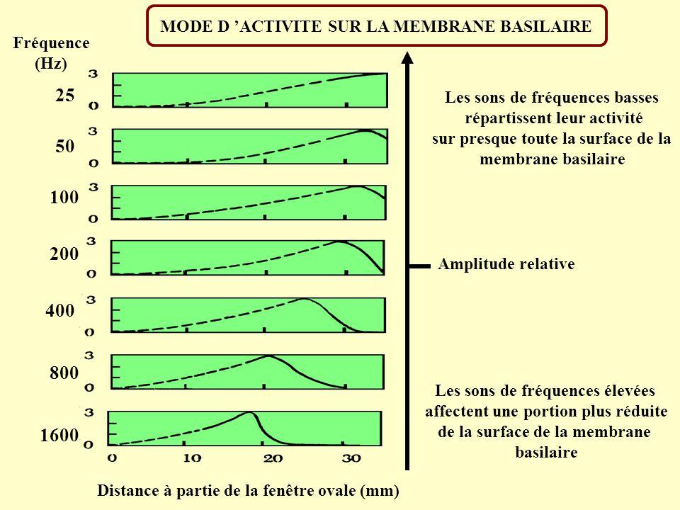 25 50 100 200 400 800 1600 MODE D 'ACTIVITE SUR LA MEMBRANE BASILAIRE