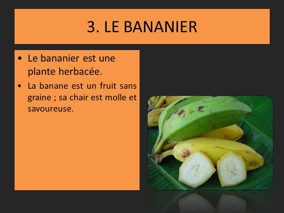 3. LE BANANIER Le bananier est une plante herbacée.