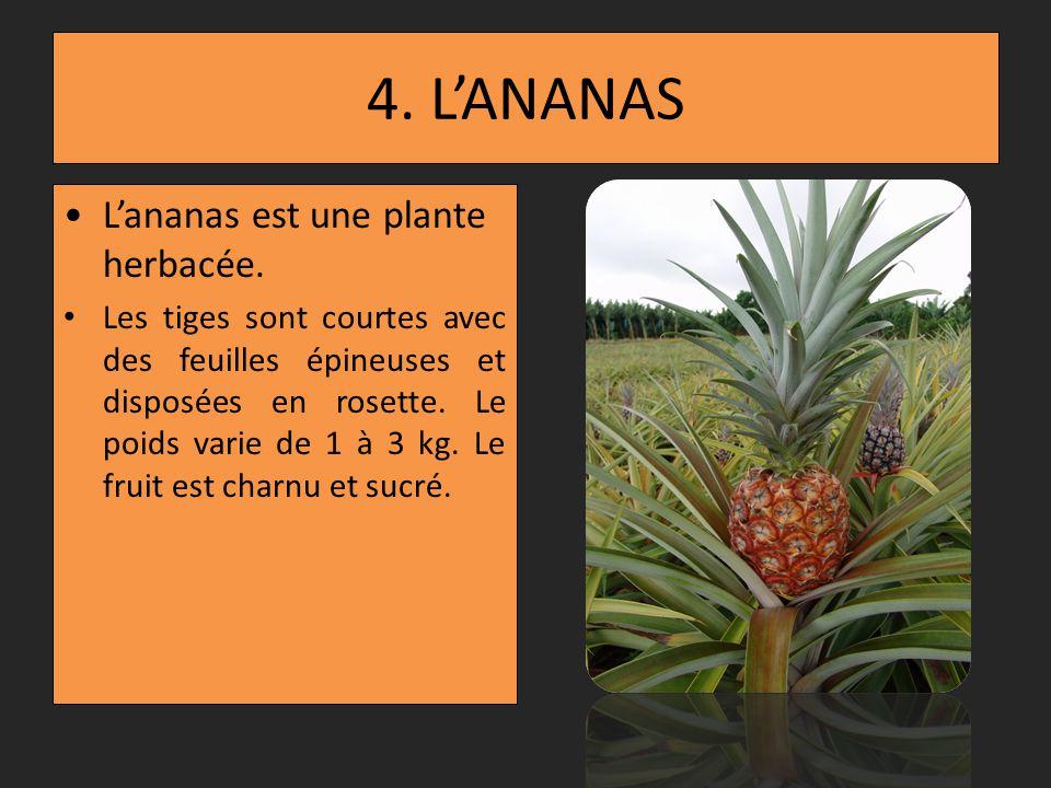 4. L'ANANAS L'ananas est une plante herbacée.