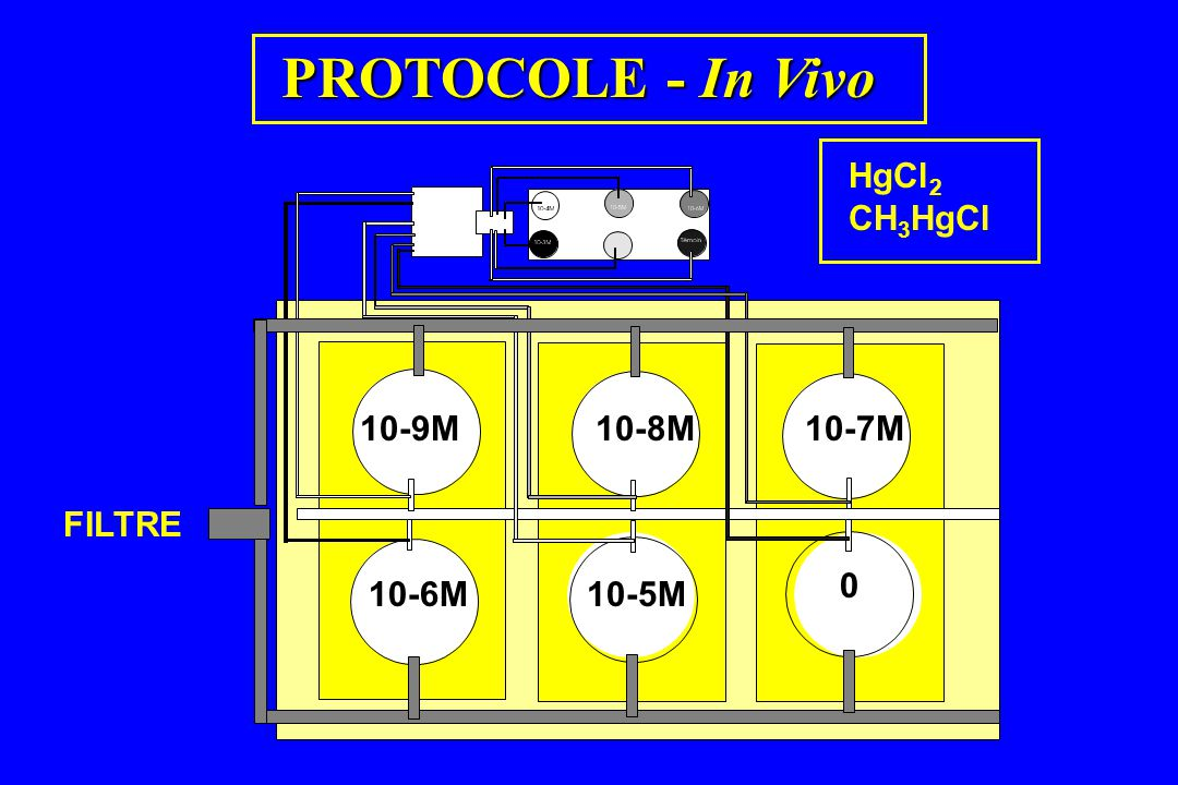 PROTOCOLE - In Vivo HgCl2 CH3HgCl 10-9M 10-8M 10-7M 10-6M 10-5M FILTRE