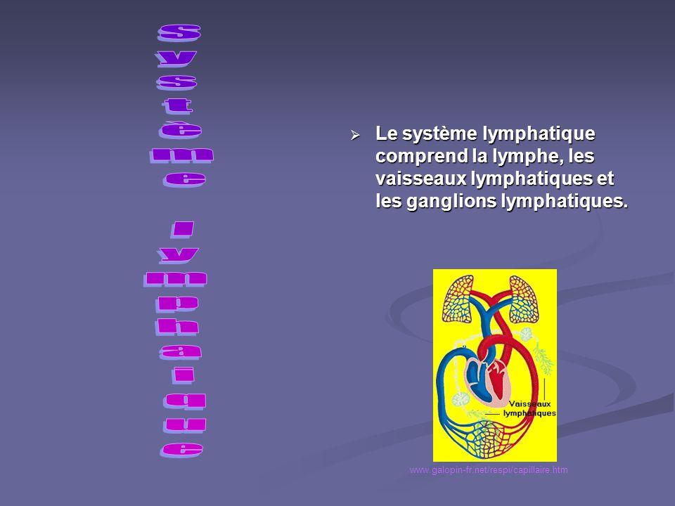 Le système lymphatique comprend la lymphe, les vaisseaux lymphatiques et les ganglions lymphatiques.