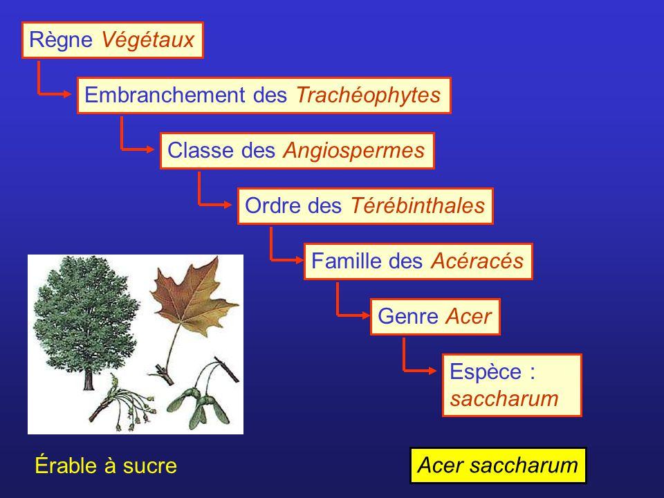 Règne Végétaux Embranchement des Trachéophytes. Classe des Angiospermes. Ordre des Térébinthales.
