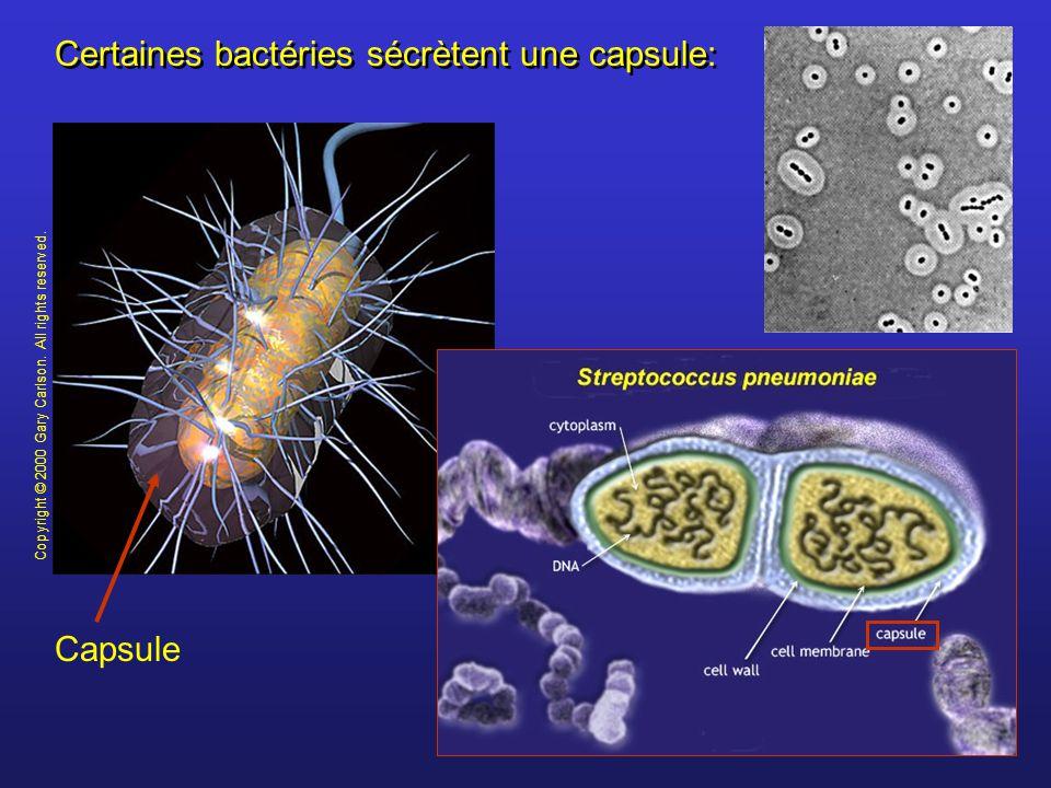 Certaines bactéries sécrètent une capsule: