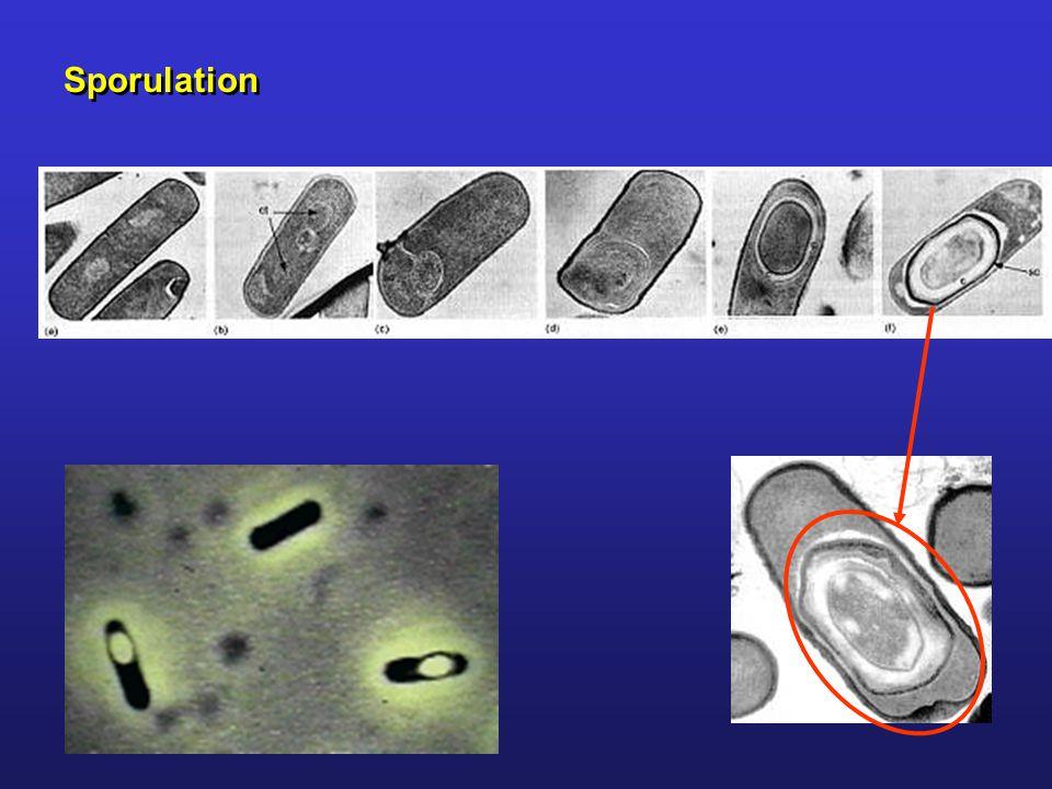 Sporulation