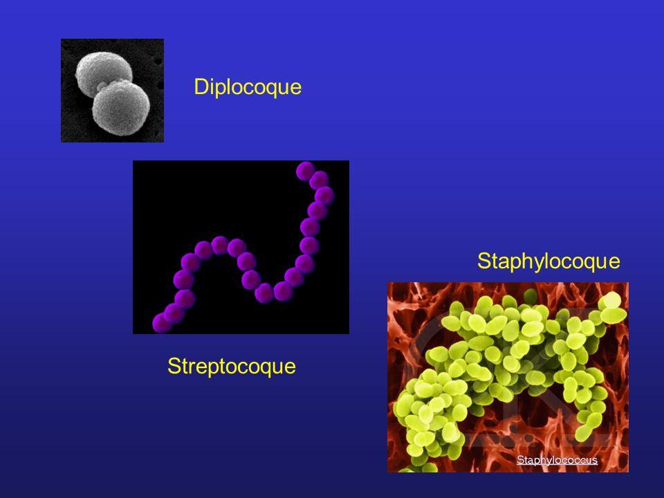 Diplocoque Staphylocoque Streptocoque