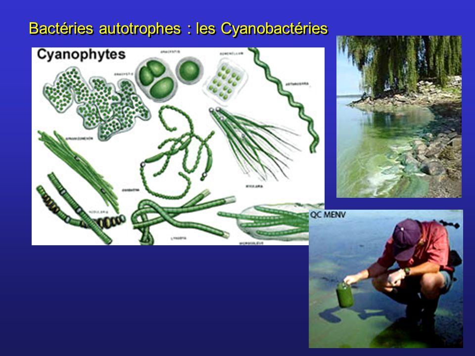 Bactéries autotrophes : les Cyanobactéries