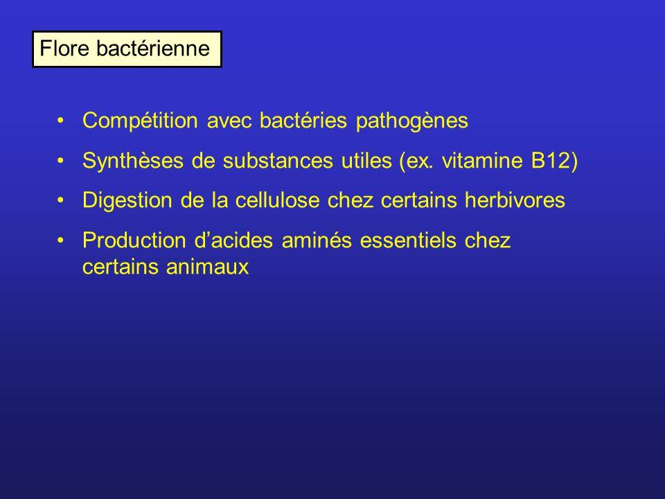 Flore bactérienne Compétition avec bactéries pathogènes. Synthèses de substances utiles (ex. vitamine B12)