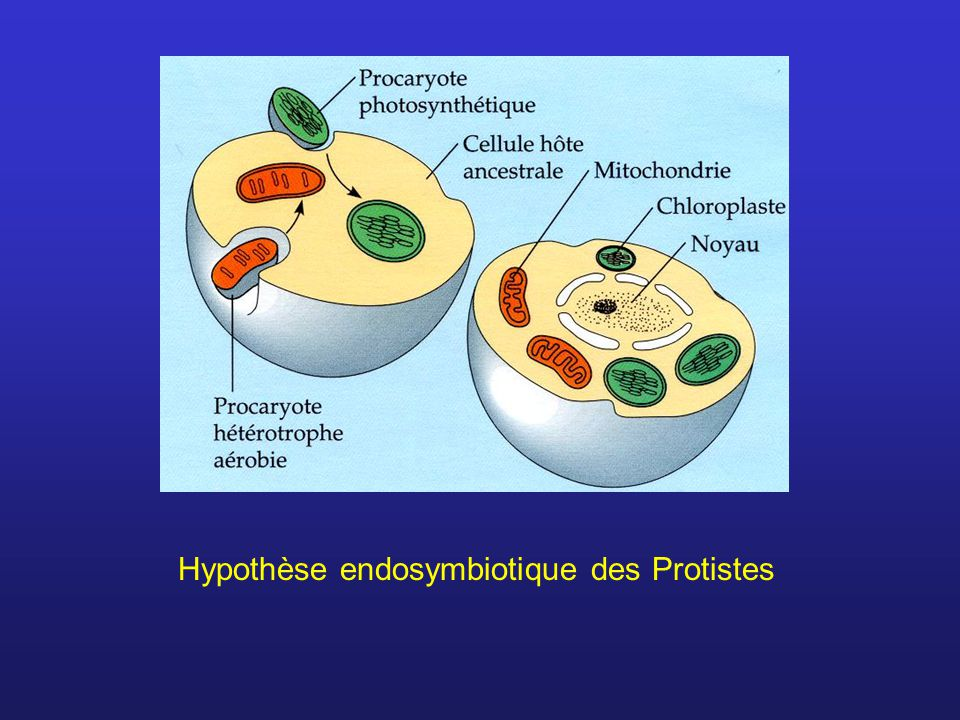 Hypothèse endosymbiotique des Protistes