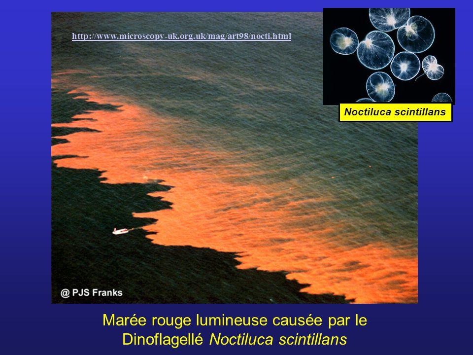 Marée rouge lumineuse causée par le Dinoflagellé Noctiluca scintillans